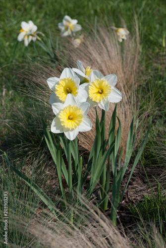 Daffodil Ice Follies (narcissus) flowers