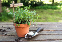 Potted Salad Burnet (Sanguisorba Minor) With A Wooden Plant Marker And A Planting Shovel On A Rustic Wooden Table In The Garden, Copy Space