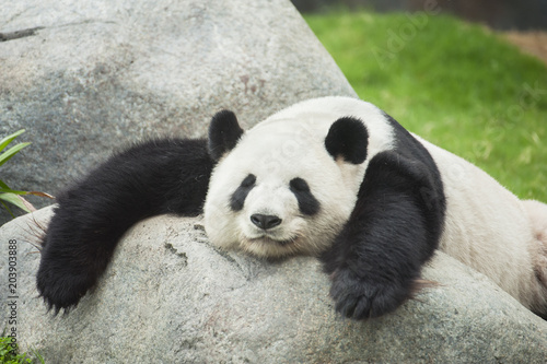 Keuken foto achterwand Panda Giant panda bear sleeping