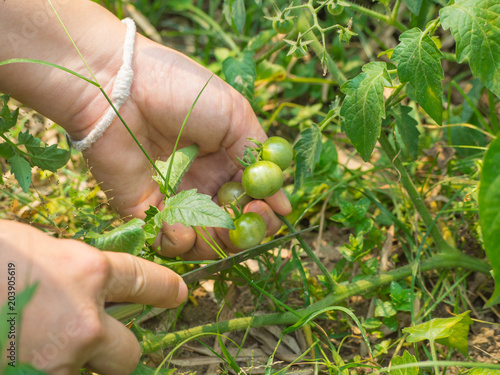 Stampe  Woman's hands harvesting fresh organic tomatoes in her garden