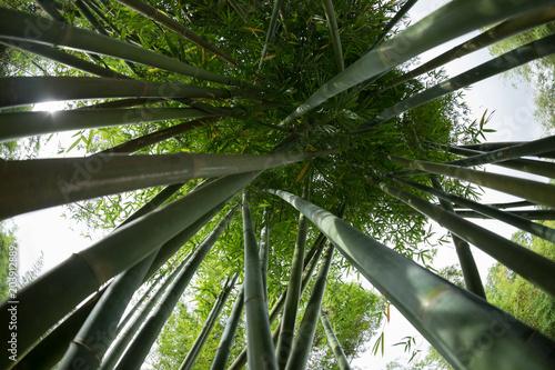 Keuken foto achterwand Bamboo bamboo trees looking up