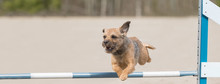 Border Terrier Jumps Over An A...