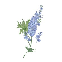 Delphinium Or Larkspur Purple Blooming Flowers Isolated On White Background. Elegant Detailed Botanical Drawing Of Wild Flowering Plant. Hand Drawn Realistic Vector Illustration In Antique Style.