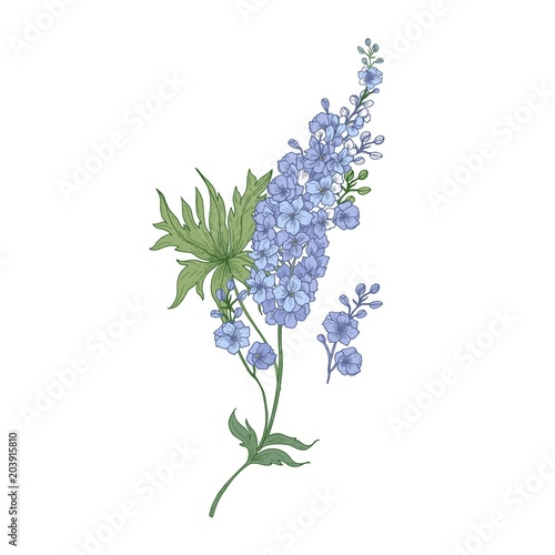 Cuadros en Lienzo Delphinium or larkspur purple blooming flowers isolated on white background