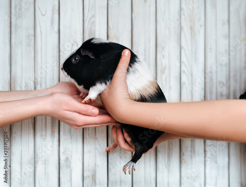 Fotografía  Guinea pig is passed gently from hand to hand