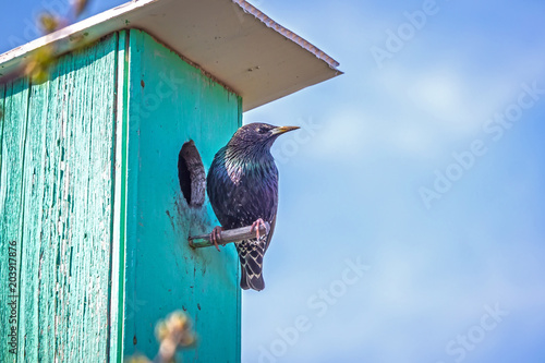 The Starling sits on the verde of the birdhouse Wallpaper Mural