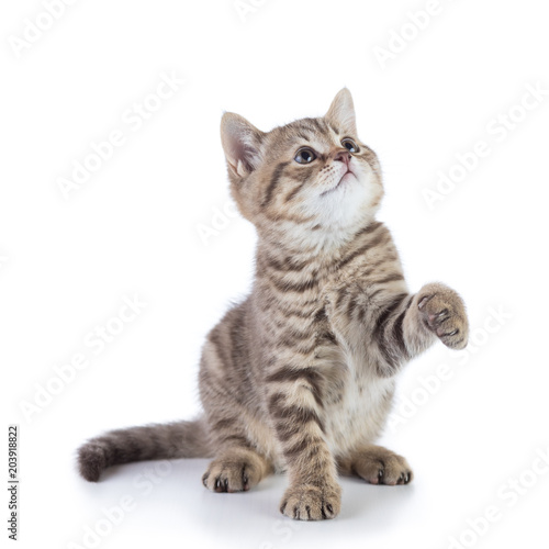 Fotografie, Obraz  playful scottish kitten cat looking up