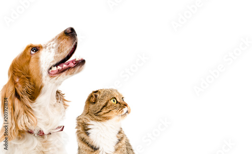 Poster Chien Portrait of a dog Russian Spaniel and cat Scottish Fold, isolated on a white background