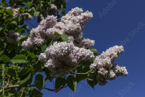 Foto op Canvas Lilac Beautiful abundant flowers of lilac tree in full bloom against the blue sky