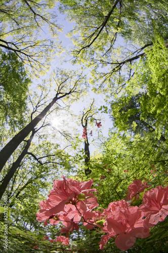 Staande foto Azalea ヤマツツジ咲く新緑の林