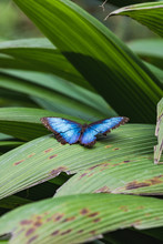 A Beautiful Blue Morpho Butterfly Sits On A Leaf