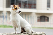 Jack Russell Dog Portrait