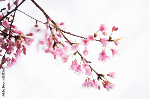 Fotobehang Bloemen Pink Cherry blossom or sakura isolated on white