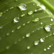 Gros Plan De Gouttes D'eau De Pluie, Sur Une Feuille Verte. Arrière-plan Vert Naturel Format Carré Concept De Protection De L'environnement.