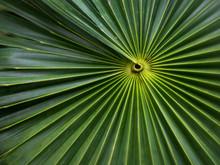 California Fan Palm Tree Leaf ...