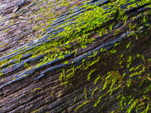 Moss On An Old Tree In A Rain Forest