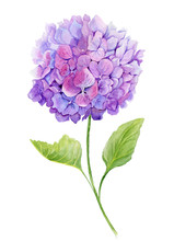 Delicate Spring Floral Illustration. Beautiful Light Purple Hydrangea (flowers On A Twig With Green Leaves) Isolated On White Background. Watercolor Painting.