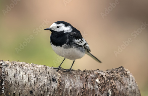 Pied wagtail, perched on a branch in the Springtime Canvas Print