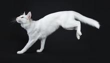 Solid White Turkish Angora Cat...