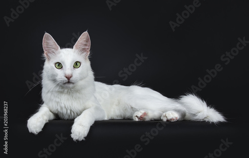 Photo Solid white young Turkish Angora cat with green eyes laying side ways isolated o