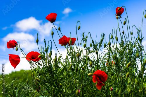 Plakat Piękne czerwone maki przeciw błękitne niebo z szarymi chmurami w letni dzień.