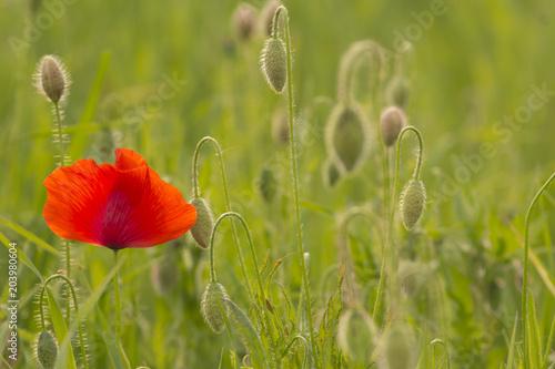 Plakat Czerwony maczek i pączki w polu