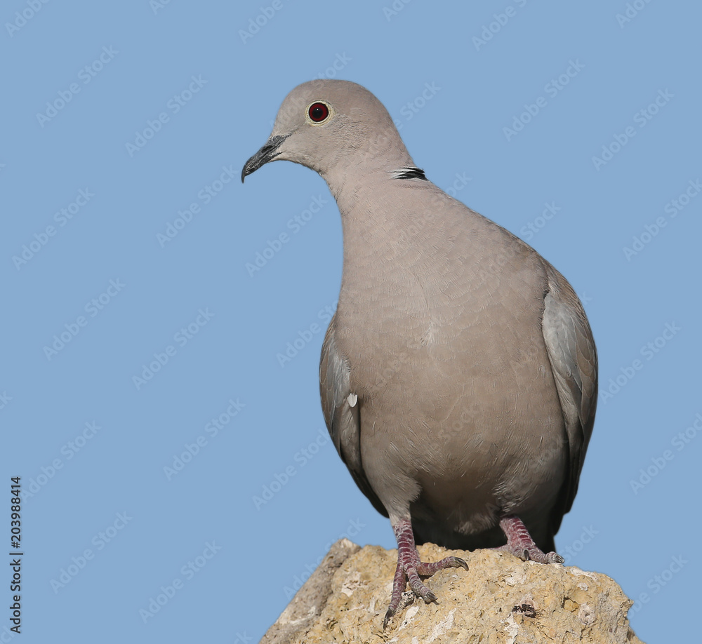 A male collared dove stands on a stone on blue blurred background. Close up and detailed photo.