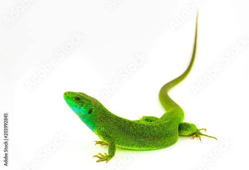 Green lizard isolated Poster