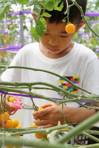 Fotobehang Olijf ミニトマトを摘む小学生(3年生)