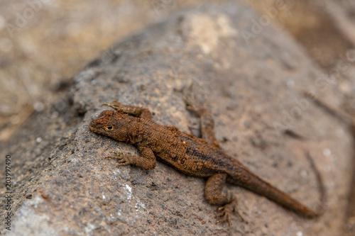 Galapagos Lava Lizard (Microlophus albemarlensis) in Galapagos I Poster