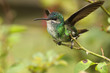Golden tailed sapphire hummingbird perched in a rosa branch displaying wings taking flight