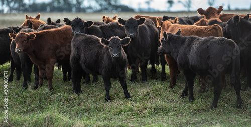 Fotobehang Koe Herd of young cows