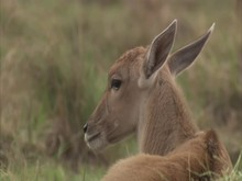 Young Eland Resting