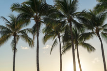 Coconut Palm Trees In A Tropic...