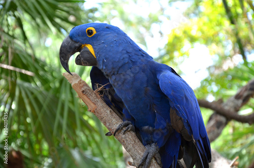 Foto op Aluminium Papegaai Hyazinth Ara auf Ast mit blauem Gefieder und offenem Schnabel