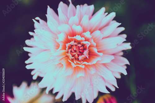 Deurstickers Dahlia background nature Flower dahlia pink. pink flowers. background blur