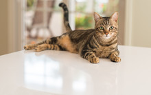 Relaxed Domestic Cat At Home, ...