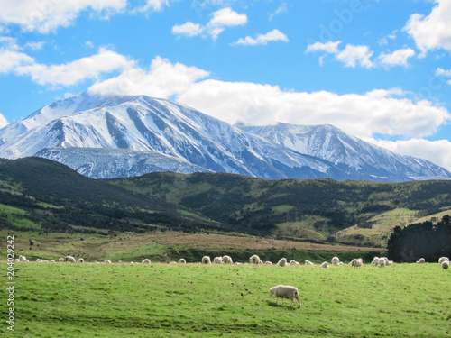 Tuinposter Nieuw Zeeland Merino sheeps on field in farm, new zealand