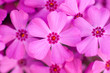 Leinwanddruck Bild - Phlox in bloom close-up