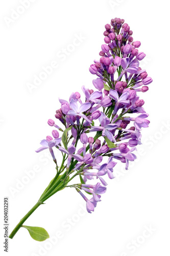 Fotobehang Lilac Flowers of light purple real lilac on small branch.