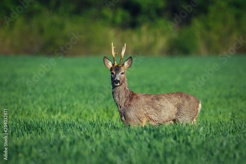 Fotomural European roe deer. Roe deer in Summer landscape