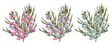 Chamaelaucium (waxflower) Blue And Pink Flowers. Vector Floral Pattern Set Isolated On White Background. Beautiful Watercolor Element For Banners, Invitation, Cards, Flyers