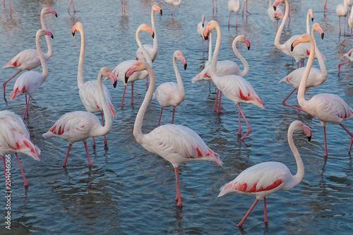 Tuinposter Flamingo Pink big bird Greater Flamingo, Phoenicopterus ruber, in the water, Camargue, France