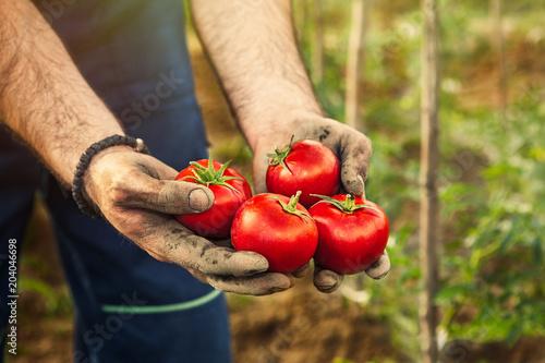 Cuadros en Lienzo Hands holding tomato