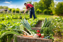 Mixed Vegetable In Wicker Basket In Garden