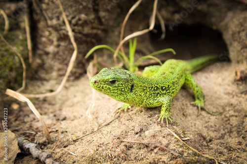 green lizard in the hole Poster