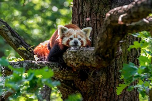 Foto op Canvas Panda Red panda resting