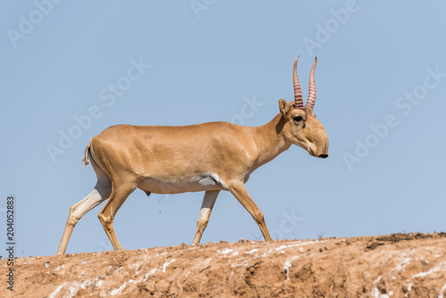 Photo sur Toile Antilope Saiga tatarica, Chyornye Zemli (Black Lands) Nature Reserve, Kalmykia region, Russia.