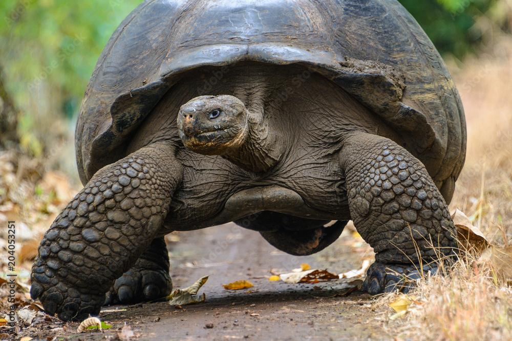 Giant tortoise in El Chato Tortoise Reserve, Galapagos islands, Ecuador