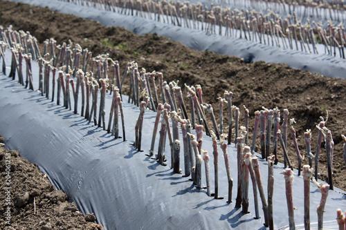 Fotografia  des plants de vigne
